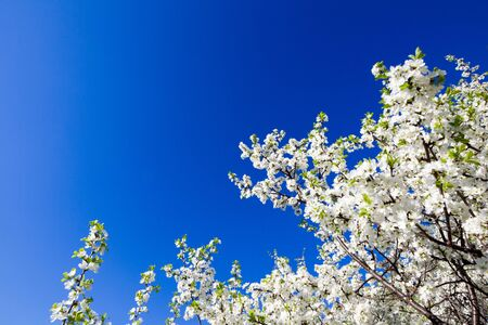 Blackthorn Tree - Thorns. Trees of a garden blossom on a sky background. Stock Photo