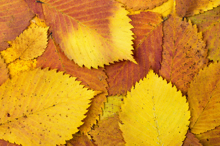 Natural background from autumn colourful leaves