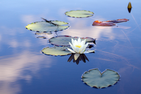 Fine white water-lilies with leaves on the lake Stock Photo