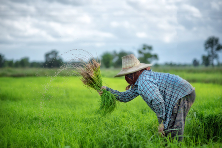 Transplant rice seedlings in rice field, Asian farmer is withdrawn seedling and kick soil flick of Before the grown in paddy field,Thailand, Farmer planting rice in the rainy season. Stock Photo