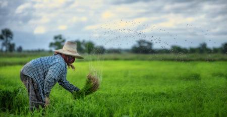 田んぼ、アジア農民移植水稲苗は前で栽培圃場の中で、タイの雨季に稲作農家に、の撤退苗とキック土フリックです。 写真素材