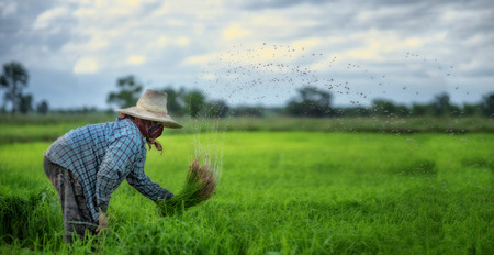 De rijstzaailingen van de transplantatie in padieveld, Aziatische landbouwer wordt teruggetrokken zaailing en schopt grondfilm van vóór gegroeid op padiegebied, Thailand, Landbouwer die rijst in het regenachtige seizoen plant. Stockfoto