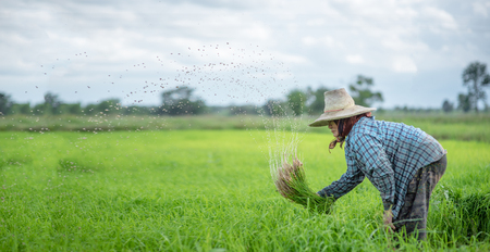 Transplant rice seedlings in rice field, Asian farmer is withdrawn seedling and kick soil flick of Before the grown in paddy field,Thailand, Farmer planting rice in the rainy season. 版權商用圖片