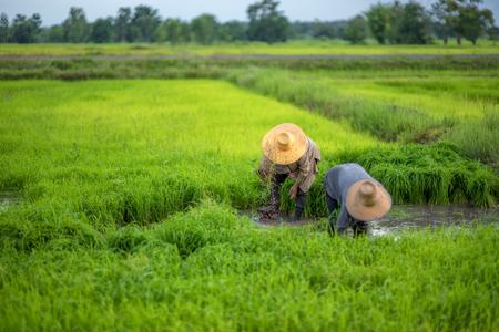 田植え農家は、田んぼで栽培水田農家梅雨の田植え前に、の撤退苗とキック土フリック。水田ジャスミン ライス。 写真素材