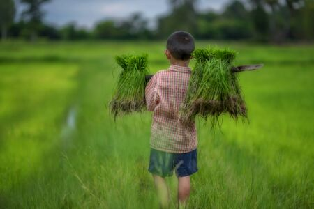 Transplant rice seedlings in rice field, farmer is withdrawn seedling and kick soil flick of Before the grown in paddy field, Farmer planting rice in the rainy season. Paddy jasmine rice field.