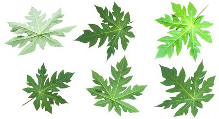 Tree papaya Leaf Isolated On White
