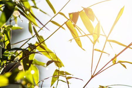 Dew drops on bamboo tree with morning sun.