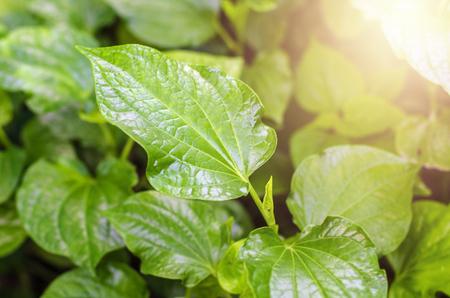 Material. Thai medicinal plants.(Piper sarmentosum Roxb.) 스톡 콘텐츠