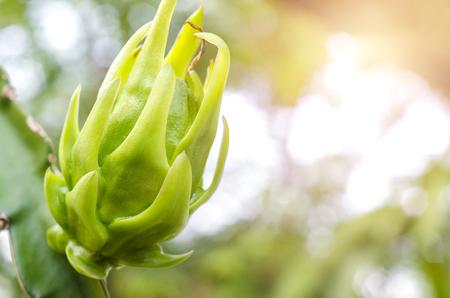 Dragon fruit on plant, Raw Pitaya fruit on tree, 스톡 콘텐츠