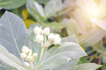 Calotropis gigantea flowers or white crown flowers of bouquet of light morning 스톡 콘텐츠