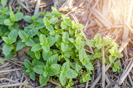 Close up Peppermint on the morning light farm, vegetable for the kitchen. 스톡 콘텐츠