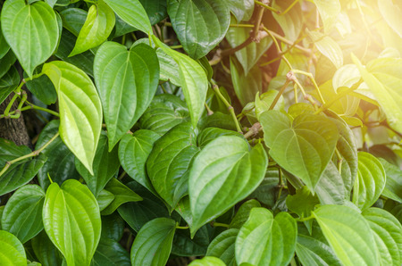 The betel leaf  or Piper betle in Thailand. is mostly consumed in Asia, with Areca nut andor tobacco.