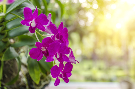 orchids,orchids purple ,orchids purple Is considered the queen of flowers in Thailand