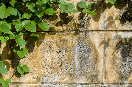 Green ivy growing on a cement brick wall. Force of nature concept.