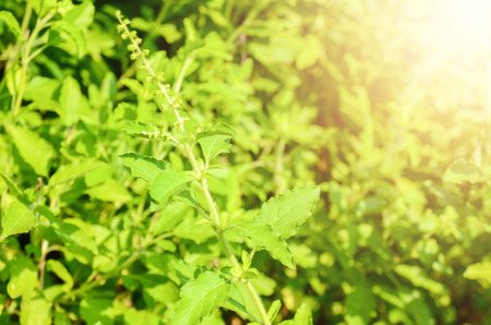 Closeup nature view of basil green leaf in garden at summer under sunlight. Natural green plants landscape using as a background or wallpaper. 스톡 콘텐츠