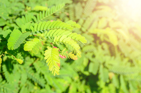 Closeup nature view of Tamarind green leaf in garden at summer under sunlight. Natural green plants landscape using as a background or wallpaper.