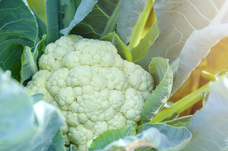 Cauliflower in the garden field