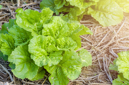 Nappa cabbage green leaves in the field,ingredient for made kimchi in Korea. 스톡 콘텐츠