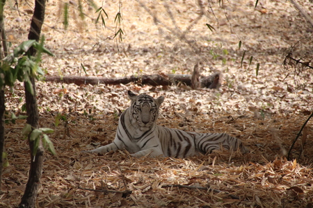 bhopal: White Tiger sitting in the jungle Stock Photo