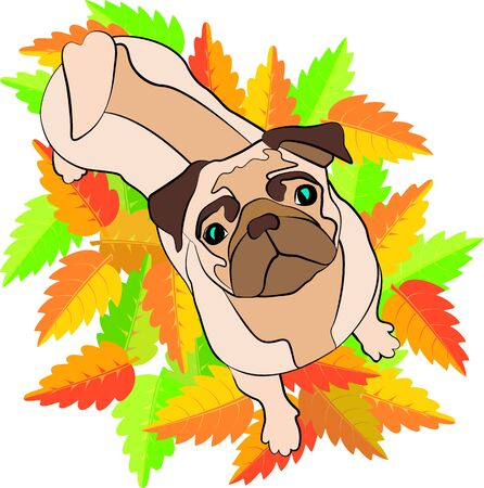 fallen leaves: Beige pug standing on fallen leaves and looking up