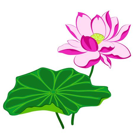 lirio de agua: flor de loto rosa con hojas, ilustraci�n aislada