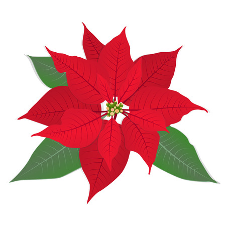 Red Christmas flower poinsettia on white. Vector eps 10. Illustration