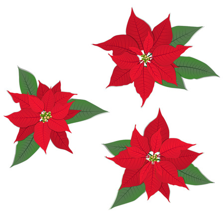 Red Christmas flower poinsettia on white. Vector set.
