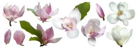 Magnolia isolated spring flower blossom vector illustration set. Pink blooming tree design elements. Bloom flower vector magnolia tree blossom. Pink petals, buds, green leaves set on white.