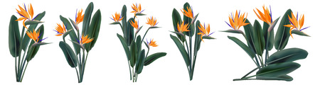 Strelitzia Reginae tropical flower bouquets vector set isolated on white. Green leaves, orange and violet blossom design set. South African plant, so called crane flower or bird of paradise. Ilustração