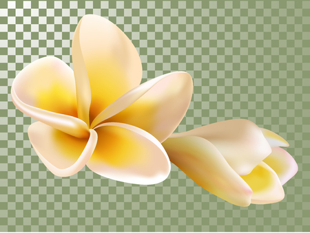 Plumeria or Frangipani Flower and Bud Vector Illustration. Transparency grid background. Flowering, tree blossom. Caribbean, hawaiian tropical flower and bourgeon isolated, SPA symbol. Tropical flower Illustration