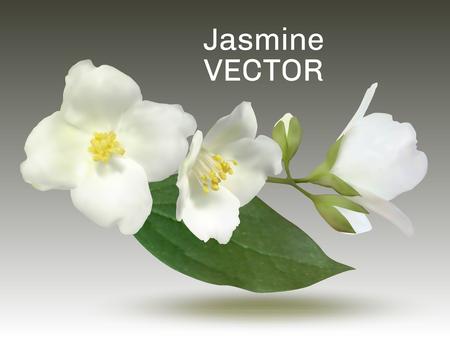 Jasmin-Blumen-Vektor-Illustration, Schein-Orange-Pflanzen-Zweig. Realistischer Buschzweig mit Knospen, weißen Blütenblättern, gelben Pollen auf Staubblättern, grünem Blatt. Isolierter Blütenstand auf Grau. Vektorgrafik