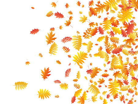 Oak, maple, wild ash rowan leaves vector, autumn foliage on white background. Red gold yellow oak dry autumn leaves. Snazzy tree foliage vector october season specific background.