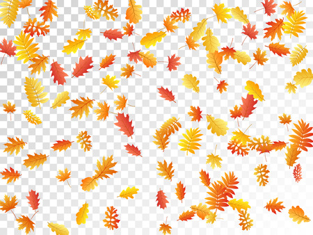 Oak, maple, wild ash rowan leaves vector, autumn foliage on transparent background. Red orange yellow wild ash dry autumn leaves. Elegant tree foliage fall season specific background graphics.