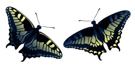 Papilio machaon butterflies couple vector illustration. Old World Swallowtail (Papilio machaon) realistic design. Yellow black butterflies. Ilustracja