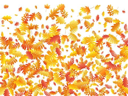 Oak, maple, wild ash rowan leaves vector, autumn foliage on white background. Red gold yellow ash and oak autumn leaves. Beautiful tree foliage october seasonal background.