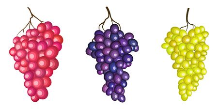 Sultana grape, green, red and purple branches vector illustration isolated on white background. Wine fruit, Cardinal grape vine stylized clip art geometric set. Fresh juicy vegetarian organic food.