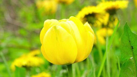 Yellow tulips sway from the wind in the garden. Close up