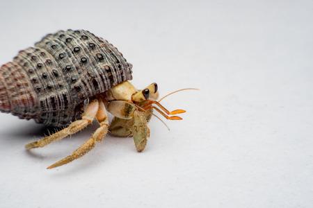 Land hermit crabs, Coenobita, hermit crabs Stock Photo