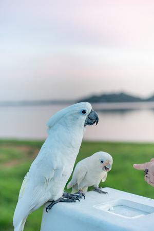 umbrella cockatoo Bird standing on the Basket