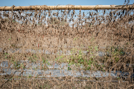 Dry Agricultural crops in Farm be arid