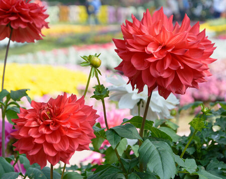 Bloom red dahlia flowers in garden at the spring photo