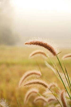 Grass flower with dew in the morning  background photo