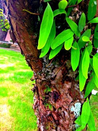 creeping: Verde pianta rampicante su albero marrone
