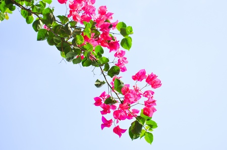 Flowering bougainvillea photo