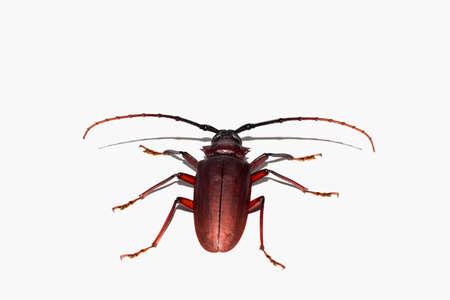 hexapod: Coconut beetle