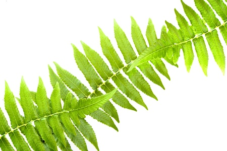 three green fern leaf isolated on white background Stock Photo - 19984453