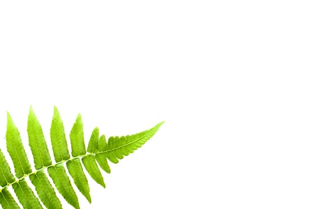 green fern leaf isolated on white background photo