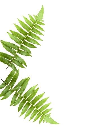 two green fern leaf isolated on white background photo