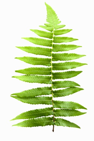 green fern leaf isolated on white background Stock Photo - 19984452