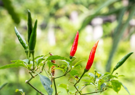 capsaicin: pepper, capsicum, garden, plant, chilies, chili, chile, leaves, tree, ripe, spice, red, cayenne, growing, padi, fiery, chilly, chilli, curry, vegetable, growth, ingredient, spicy, food, capsaicin, hot Stock Photo